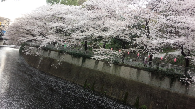 Cherry_Blossoms_Down_the_River